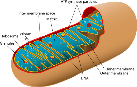 562px-Diagram_of_a_human_mitochondrion_svg20copy